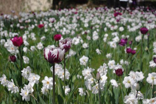 tulpės,tulpių jūra,tulpių laukas,tulpine lova,gėlių pieva,pavasaris,tulpenbluete