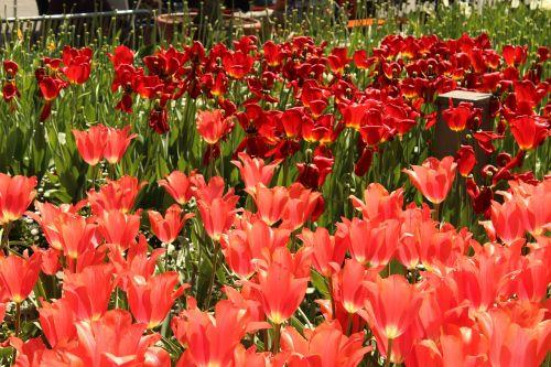tulpės,raudona,tulpių jūra,gėlės,pavasaris,žiedas,žydėti,pavasario gėlė,spalvinga,augalas,flora,tulpių laukas,vasara,raudona tulpė,fonas,sodas,botanikos,botanikos sodas,augsburg,botanikos sodas augsburgas