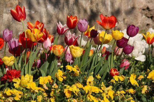 tulpės,pavasaris,spalva,augalas,gamta,ryški spalva,geltona tulpė,geltonos tulpės,raudonos tulpės,žiedai su tulpėmis