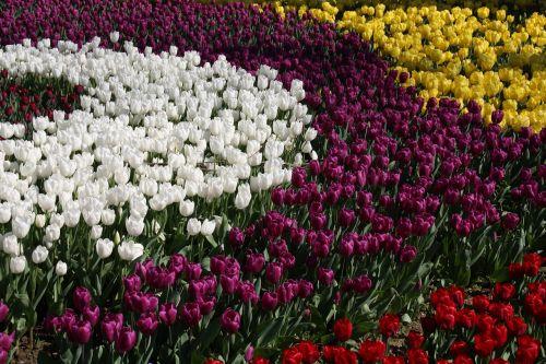 tulpės,pavasaris,spalva,gamta,ryški spalva,sodas,parkas,augalas,gražus