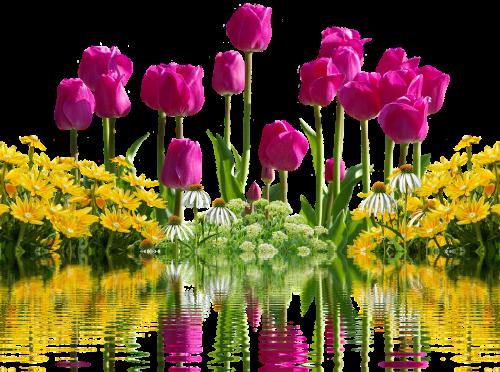 tulpės,gėlės,pavasaris,pavasario gėlės,izoliuotas,geltona,gamta,tulpių laukas,tulpenbluete,rožinis