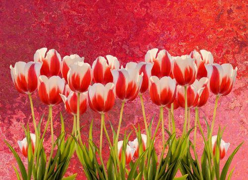 tulpės,pavasaris,gamta,gėlė,gėlės,raudona,spalvinga,tulpių laukas,augalas,pavasario gėlė