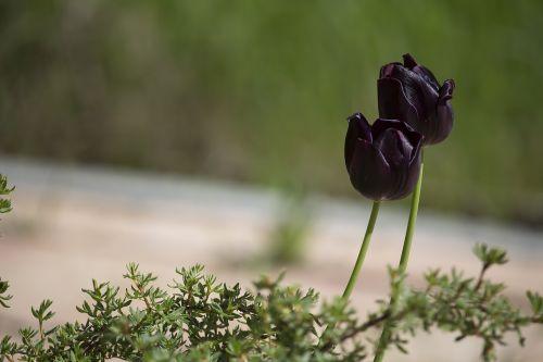 tulpės,juoda,tamsi,pavasaris,schnittblume,tulpine gėlė,violetinė,violetinės tulpes,augalas,flora,gėlės,veislinis tulpis,juodos tulpės