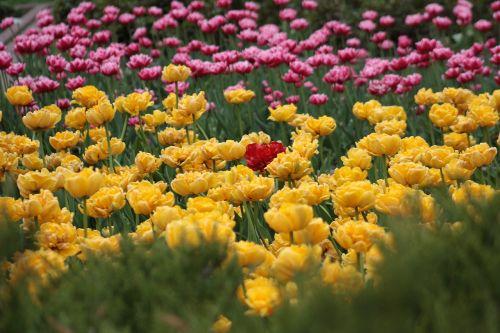 tulpės,geliu lova,šviesus,gėlė,gamta,augalas,žalumos,geltonos tulpės,raudonos tulpės,gėlės,pavasaris,budas