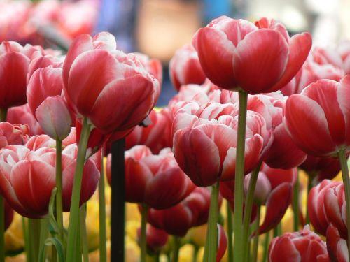 tulpės,gėlės,gamta,sodas,augalas,pavasaris,gėlių,raudona,keukenhof,holland,Lisse,geliu lova,lova,gėlių jūra,tulpių jūra,romantika,romantiškas,grožis,tobulybė,lelijos šeima,tulipa,liliaceae,svogūnėlė,žalia medžiaga