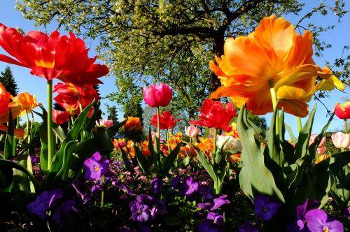 tulpės,gėlės,tulpių jūra,gėlių jūra,blütenmeer,geltona,pavasaris,Balandis,Pietų parkas,Diuseldorfas,Vokietija,tulpine lova,ryškios spalvos,spalvinga,farbenpracht,žydėti,parkas,tulpių laukas,geliu lova,žiedas,žydėti,tulpenbluete,kontrastas,spalvinga,spalva