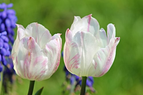 tulpės, baltos spalvos, rožinis, žiedas, žydi, kelių, gėlės, pavasaris, Iš arti, pobūdį, Pavasario gėlė, augalų, Sodas, anksti Gama, gėlių sodas, apdaila, požymiai pavasarį, pradžioje, tulpenbluete, Iš arti, Iš arti, žiedlapiai, antspaudas