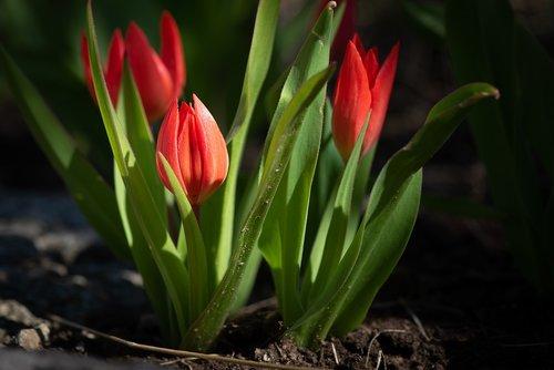tulpės, raudona, raudonos tulpės, mažas, mažos tulpės, Sodas, Sode, pavasaris, spyruokliniai žiedai, pobūdį, floros, Iš arti, žydėjimas