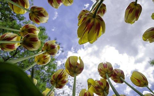 tulpės, gėlė, geltona, pobūdį, Tulip festivalis, gėlės, augalų, raudona, pavasaris, makro, Sodas, ryškus spalva, geltonos tulpės, raudonos tulpės