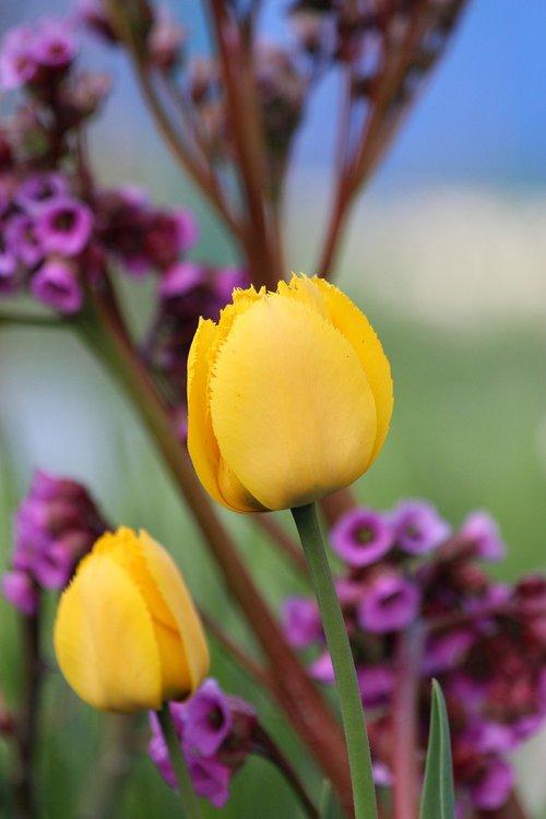 tulpės, geltonos gėlės, įmonių tulpės, gėlės, pavasaris, pobūdį, žydi, spalvinga, Badan, floros, geltona, kilpiniai tulpės, ne žmogus