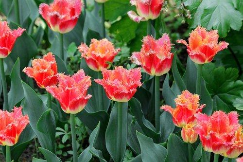 tulpės, raudonos tulpės, gėlės, kilpiniai tulpės, pavasaris, Grožio, pobūdį, šviesus, spyruokliniai žiedai, geliu lova, sodo gėlės, žydi, Gražu, Iš arti, augalų, Terry, žiedlapiai, floros, žalias