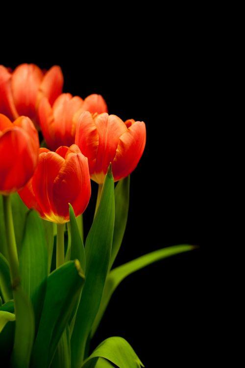 tulpės,tulpių puokštė,gėlės,puokštė,rausvai,raudona,pavasario gėlė,augalas,vazos,strausas