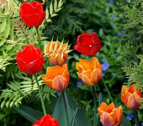 tulpės, gėlės, raudona, oranžinė, žydėjimas, žydėjimas, gėlių tedai, dantyta tulpė, pavasaris, gamta, flora, Iš arti, sodo gėlės, fonas, Tuja, stiebai