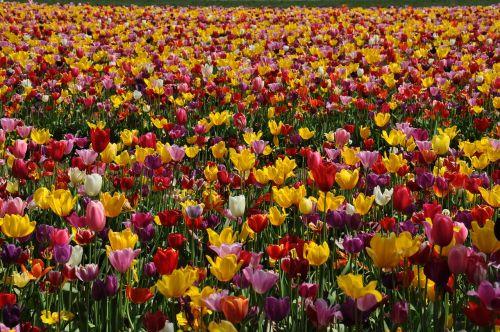 tulpės, tulpių laukas, gėlė, laukas, sodas, šviesus, žydėti, žiedas, geltona, raudona, žydi