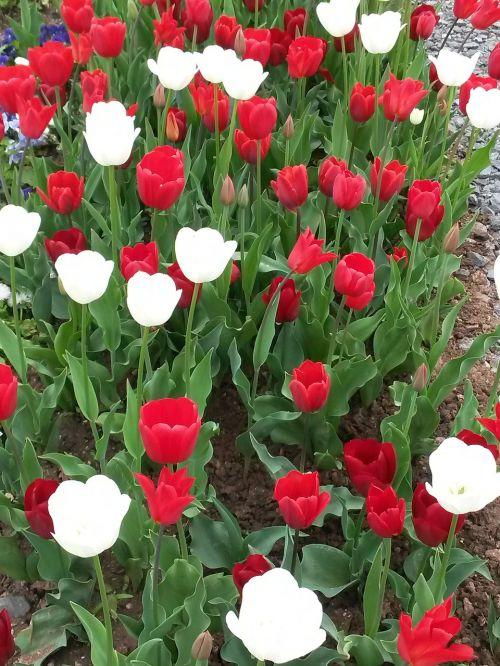 tulpės,gamta,tulpių laukas,raudona,balta,gėlės,plunksna