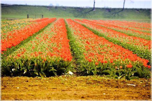 tulpės, gėlės, holland, kultūra, raudona, tulpių laukas