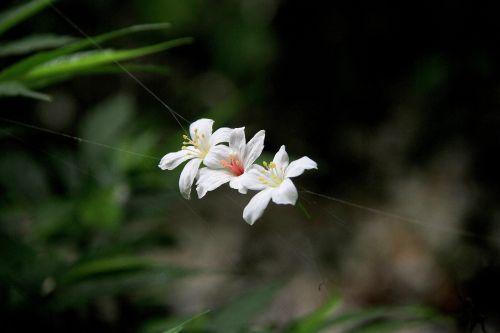 tung gėlės,balta,Playboy,voras hex,pakaba,labiausiai,kritimas,susitarti,laukiniai,kalnai
