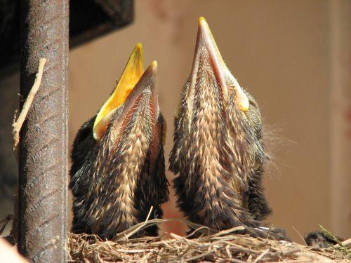turdus merula, bendras juodasis paukštis, Eurazijos juodasis paukštis, babys, viščiukai, lizdas, paukščiai, gyvūnas, krūvos