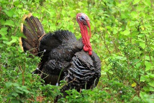 Turkija, paukštis, rūšis