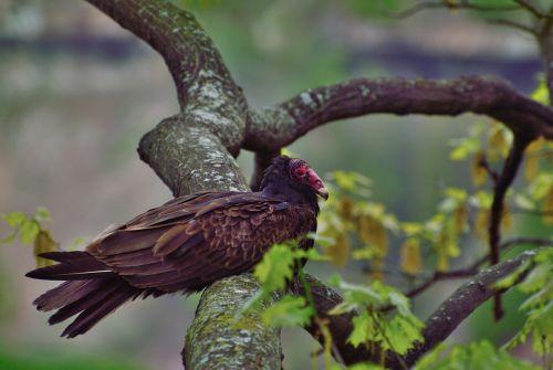 Turkijos grifas,raptoras,paukštis,buzzard,Niagara Gorge,Ontarijas