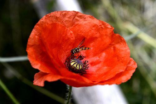 turkų aguona,aguonų augalas,raudona,aguona,augalas,gėlė,raudona aguona,gamta,žiedas,žydėti,aguonos gėlė,mohngewaechs,vasara,rytietiška aguona,Uždaryti,aguonų kapsulė,sodas,spalva,raudona gėlė,klatschmohn,botanika,Sode,laukinės vasaros spalvos
