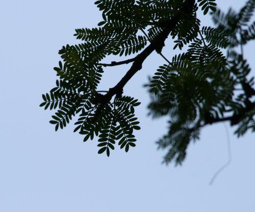 medis, šakelė, lapai, junginys, šakelė su junginiu lapais