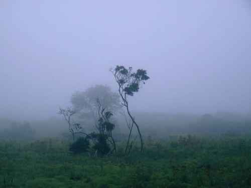 rūkas, medžiai, gnarled & nbsp, medžiai, migla, žalias, violetinė, kraštovaizdis, krūmas, vaizdas, atmosfera, twisty medžiai