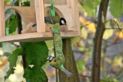 du paukščiai,paukščiai,paukštis,mažas paukštelis,juoda ir balta,šunys,mėlynas dantis,riebaliniai rutuliai,paukščių sėkla,maistas,priklausyti