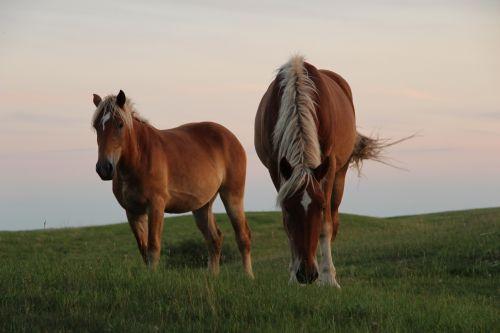du, ruda, arkliai, ganykla, ūkis, gyvūnai, du rudos žirgai ganyklose