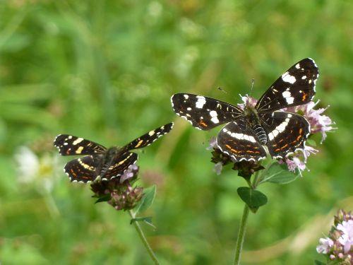 du drugeliai,drugelis,juoda ir balta,Uždaryti,vasara,drugeliai