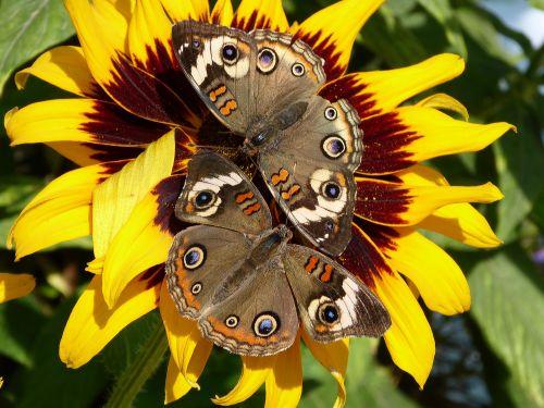 drugeliai, pora, gėlė, gėlės, geltona, buckeye & nbsp, drugeliai, gamta, saulėgrąžos, vabzdžiai, drugelis, du drugeliai ant saulėgrąžų