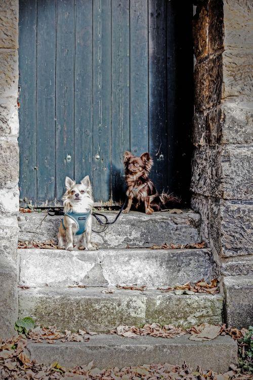 Du šunys,augintiniai,chihuahua,du,gyvūnai,laiptai,grynaveislis šuo