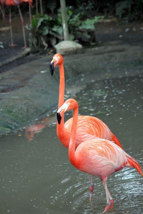 du flamingo & nbsp, pėsčiomis & nbsp, kartu, Singapūras & nbsp, jurong & nbsp, paukštis & nbsp, parkas, du flamingas eina kartu