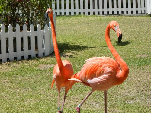du, flamingo, paukštis, gyvūnas, rožinis, zoologijos sodas, Bahama, du flamingas