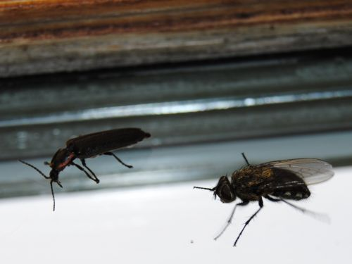 vabzdžiai, vabzdys, skristi, gamta, gyvūnas, klaidas, klaida, du vabzdžiai