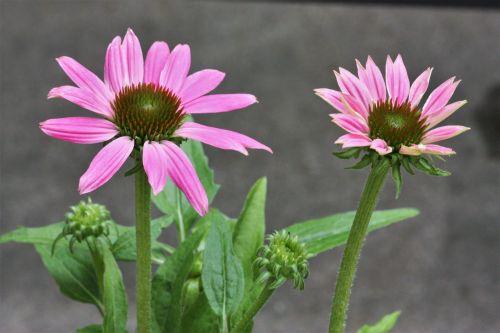 gamta, augalai, gėlės, rožinė & nbsp, gėlės, du & nbsp, gėlės, dvi rožinės gėlės, & nbsp, coneflowers, rožinės & nbsp, coneflowers, pilka & nbsp, fonas, rožinės & nbsp, žiedlapių, žydėti, žydi, gėlių & nbsp, pumpurai, gėlių & nbsp, žiedlapių, du rožiniai raibulai ir pumpurai