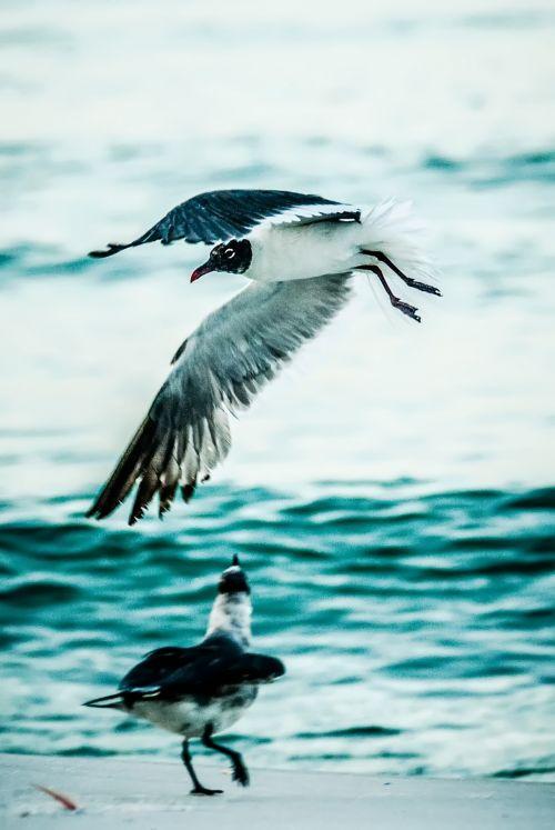 oras, gyvūnas, snapas, gražus, paukštis, koncepcija, skleisti, plunksna, skrydis, skristi, Laisvas, laisvė, slide, švytėjimas, kepuraitė, aukštas, horizontalus, imigracija, izoliuotas, laisvė, gamta, vandenynas, jūra, jūros paukštis, kajakas, dangus, didėjantis, skleisti, du seagulls on beach