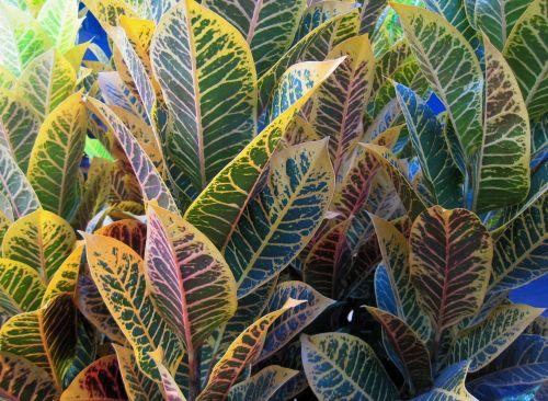 augalas, lapai, geltona, žalias, rožinis, du tonai, du tonas lapų spalvos