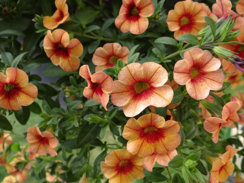 du tonai, petunijos, persikas, oranžinė, gamta, gėlės, du tonas petūnijos