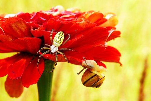 tygrzyk paskowany, voragyvis, vabzdys, moliuskai, sraigė, gėlė, augalų, vejos, ne iš teismo, pobūdį, bestuburiai, nariuotakojai, vėžiagyviai, brzuchonóg, spiralė, skaidrę, spalva, gražus, vasara, aplinka, biologija
