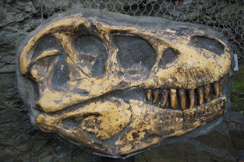 tyrannosaurus,kaulas,iškastinis,kasinėjimai,archeologija