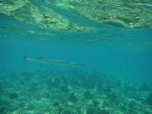 povandeninis,snorkeling,nardymas,maudytis,Jūros gyvenimas,karibai,žuvis,koralas,gyvenimas,gyvūnas