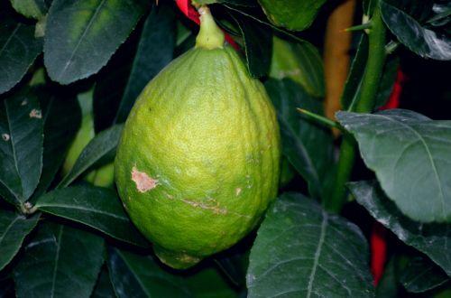 maistas, citrina, prinokę, neprinokęs, citrusiniai, vaisiai, citrina & nbsp, medis, pakabinti, nepatogus citrina