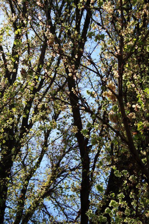 medis, aukštas, lapai, lapija, žalias, vaisiai, japanese & nbsp, raisin, dangus, mėlynas, šviesus, į medį