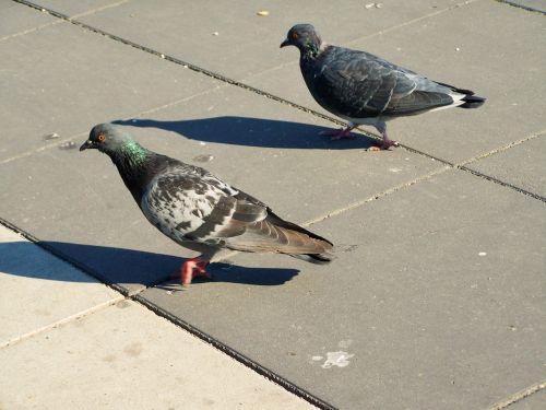 miesto balandžiai,paukštis,gyvūnas