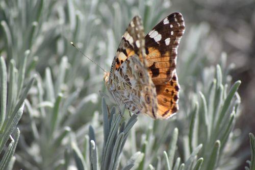 Vanesse šikšnosparniai graži moteris,www,gamtos stebina,com
