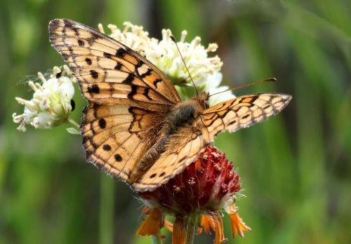 gamta, laukinė gamta, gyvūnai, vabzdžiai, drugelis, margas & nbsp, fritillary, fritillary & nbsp, drugelis, drugelis & nbsp, sparnai, Iš arti, sparnai & nbsp, plitimą, sėdi, raudona & nbsp, geltona, wildflower, žalias & nbsp, fonas, keista kriaušių drugelis 3