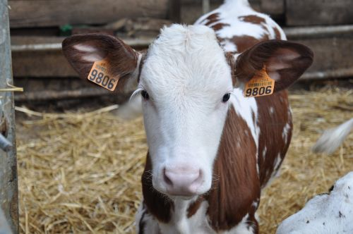 veršiena,ūkis,galvijai,ūkio gyvūnai,karvė,ragai,gyvūnai,gyvūnas,ganykla,veisimas,Žemdirbystė