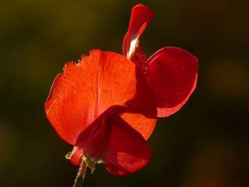 vetch,vicia,fabaceae,faboideae,ankštiniai,raudona,gėlė,žiedas,žydėti,gėlių sodas,flora,atgal šviesa,spalva,spalvinga,šviesa,šešėlis