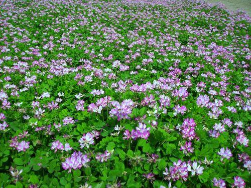 vetch,žolė,gėlės ir augalai,dygminų žolė,ankštiniai,aliso purtyti,žolė sub,azoto fiksacija,trąšos